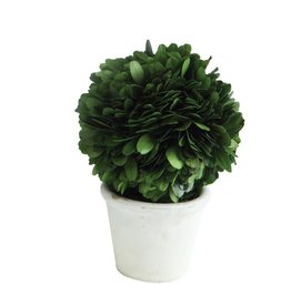 Round Preserved Boxwood Topiary Single Ball w/ Stem in White Clay Pot