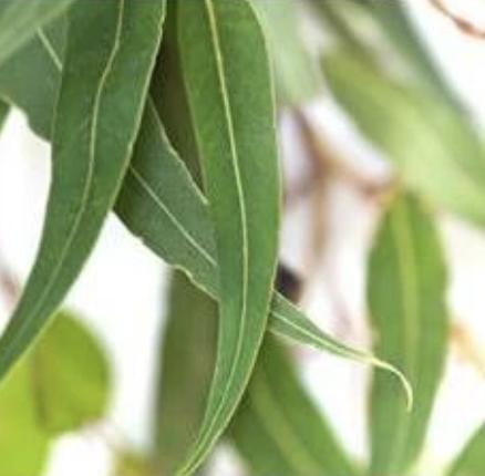 Shameless Soap Co Eucalyptus Essential Oil