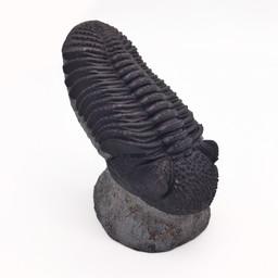 Phaecops Trilobite