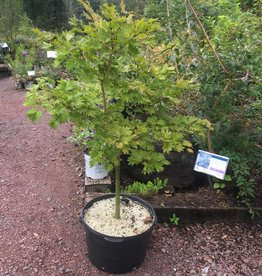 Acer shirasawanum Aureum Maple - Japanese Fullmoon, #15