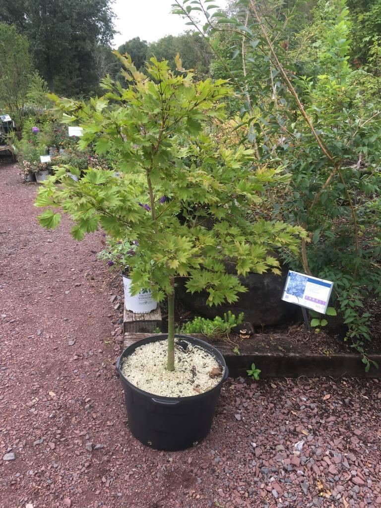 Acer Shirasawanum Aureum Maple Japanese Fullmoon 15 Behmerwald