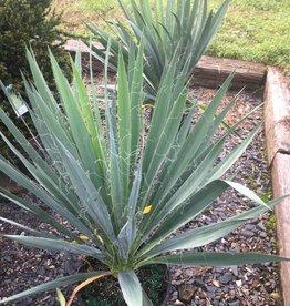 Yucca filamentosa Adam's Needle, #3