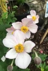 Anemone Robustissima, Anemone,  #1