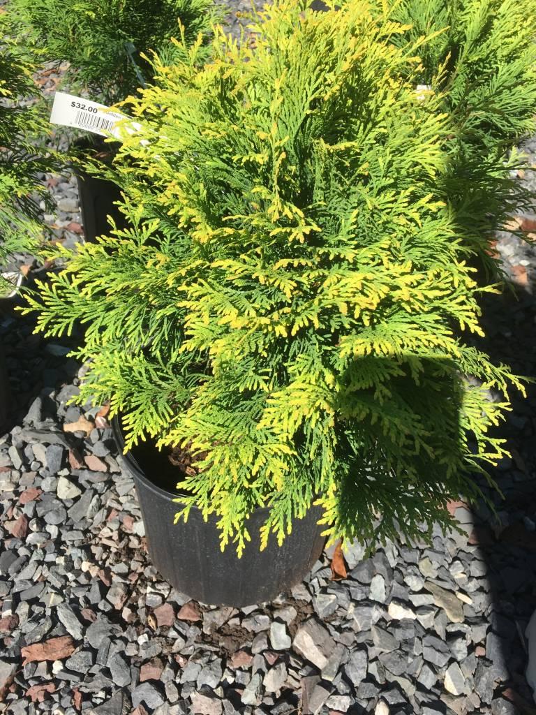 Thuja Golden Globe, Dwarf Golden Arborvitae #3