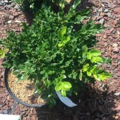 Buxus Green Velvet Boxwood, Green Velvet, #3