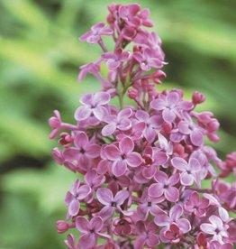 Syringa x hyacin. Pocahontas Lilac, Pocahontas, #3