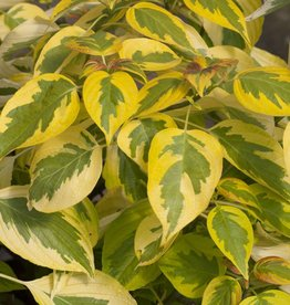 Nativar Shrub Cornus alternifolia Golden Shadows Dogwood - Pagoda, #3