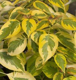 Native Shrub Cornus alternifolia Golden Shadows Dogwood - Pagoda, #3