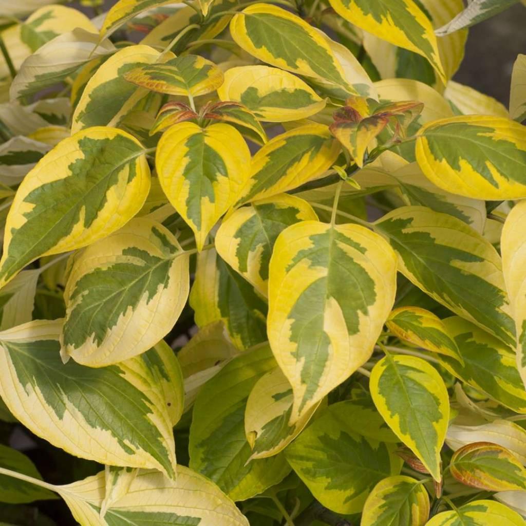 Nativar Shrub Cornus alternifolia Golden Shadows Dogwood - Pagoda, #3