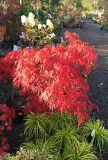 Acer palm. di. Tamyukeyama Maple - Japanese Threadleaf, Tamyukeyama, #7