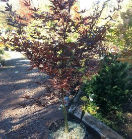 Acer palm. Emperor 1 Maple - Japanese, Emperor 1, #15