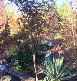 Acer palm. atropurpureum Maple - Japanese Red, #5