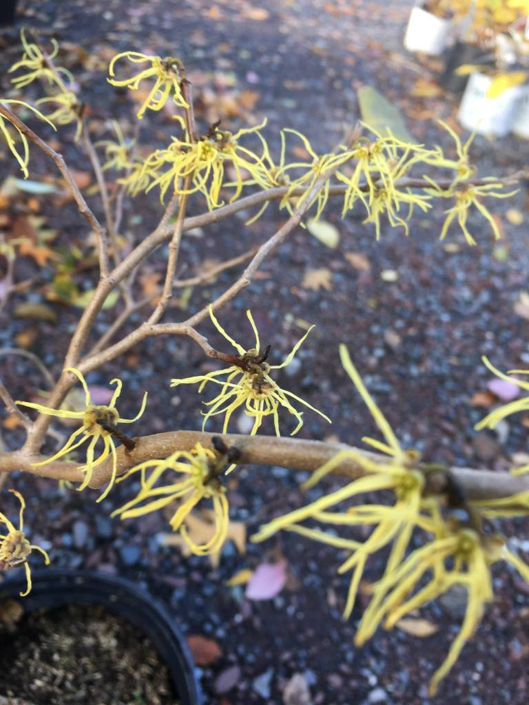 Native Shrub Hamamelis virginiana Witch-hazel, Common, #3