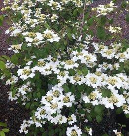 Viburnum p.t. Summer Snowflake Viburnum - Doublefile, Summer Snowflake, #3