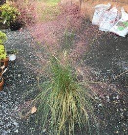 Muhlenbergia capillaris Grass - Ornamental Muhly, #2