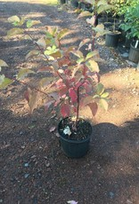 Native Shrub Cornus sericea, Dogwood - Red Twig, Native, #3