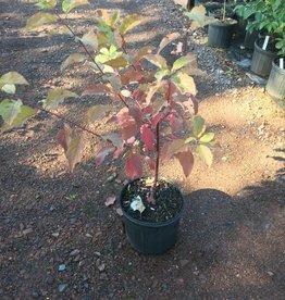 Native Shrub Cornus sericea, Dogwood - Red Twig, Native, #3