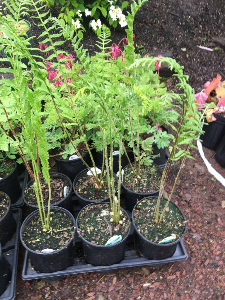 Osmunda cinnamomea Fern - Cinnamon, #1