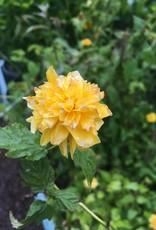 Kerria jap. Pleniflora Kerria, Pleniflora, #3