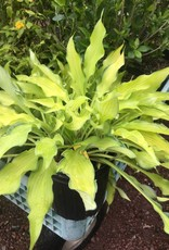 Hosta Pineapple Upside Down Cake Plantain Lily, Pineapple Upside Down Cake, #1