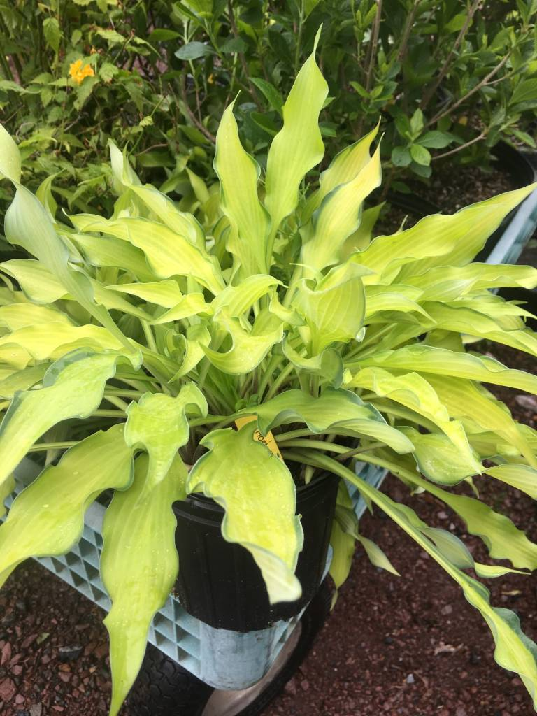 Hosta Pineapple Upside Down Cak Plantain Lily, Pineapple Upside Down Cake, #1