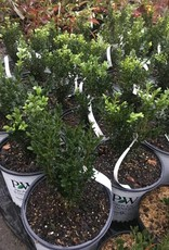 Buxus semp. Katerberg Boxwood, North Star, #3