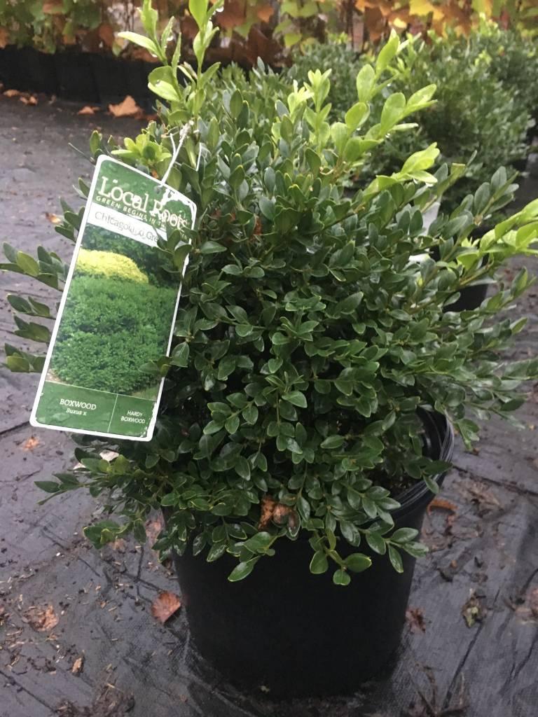 Buxus x Glencoe Boxwood, Chicagoland Green, #3