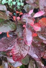 Cotinus coggygria Royal Purple Smokebush, Royal Purple, #3