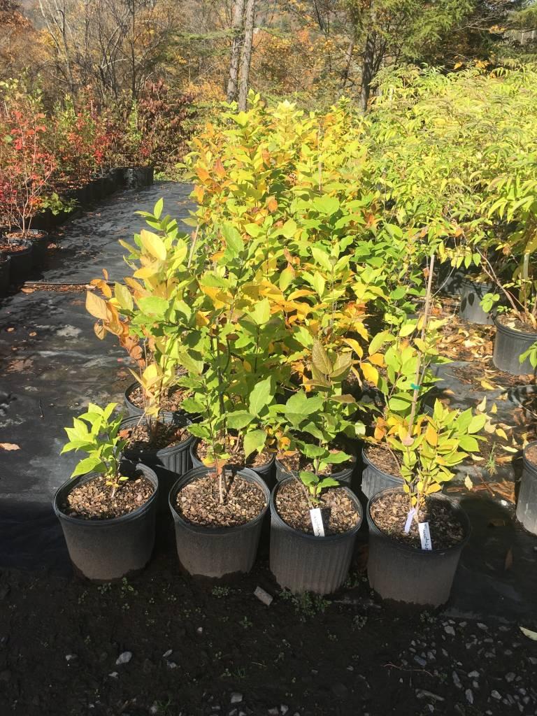 Native Shrub Calycanthus floridus Sweetshrub, #3