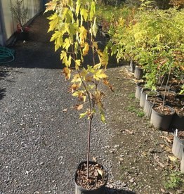 Native Tree Acer saccarinum Maple, Silver, #3
