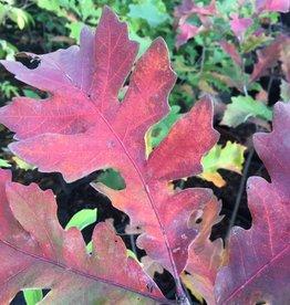 Native Tree Quercus macrocarpa, Oak, Bur, #3