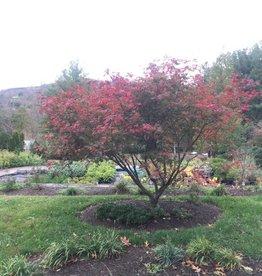 Acer japonicum Aconitifolium Maple - Full Moon, #10