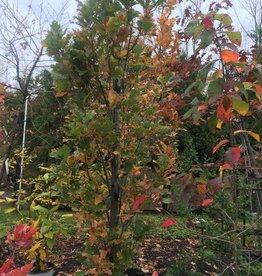 Quercus robur Regal Prince Oak, English Columnar Regal Prince, #15