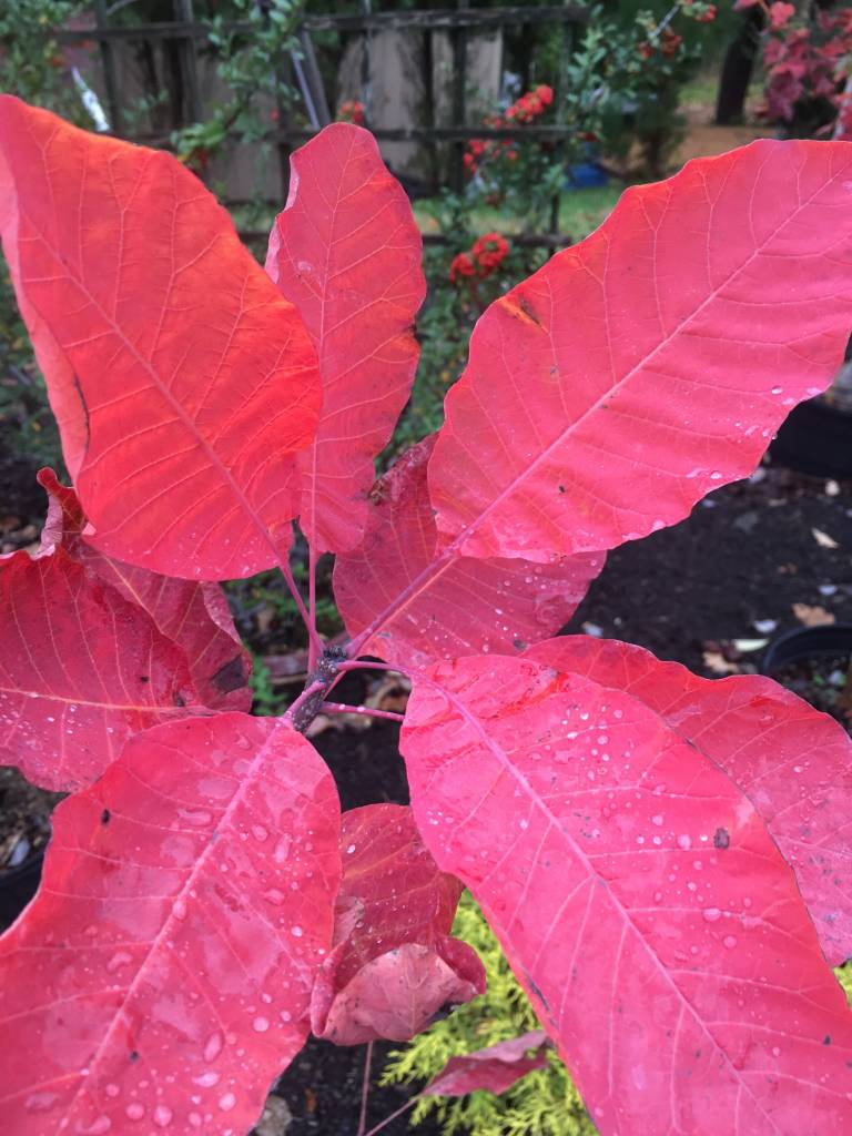 Native Tree Cotinus obovatus Smoketree, American, #3