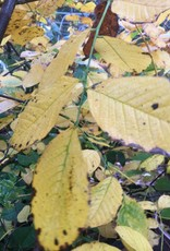 Native Tree Cladrastis kentukea Yellowwood, #3