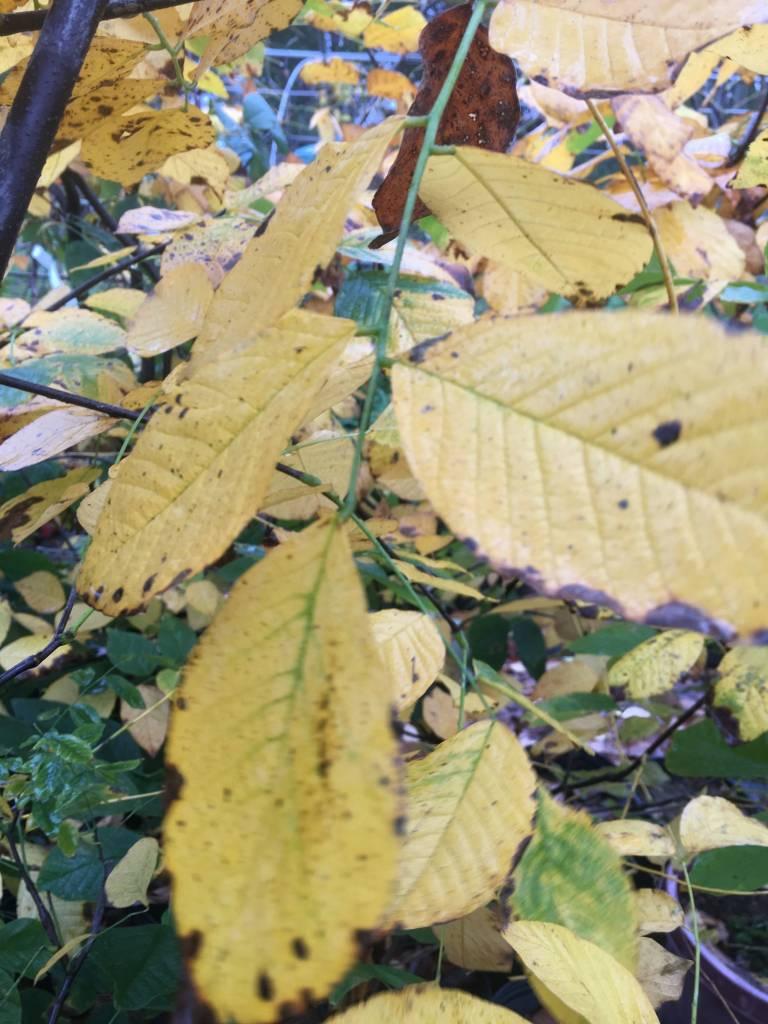 Cladrastis kentukea Yellowwood, #3
