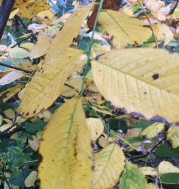 Native Tree Cladrastis kentukea Yellowwood, #10