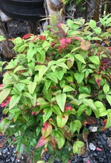 Nandina domestica Firepower, Heavenly Bamboo #3