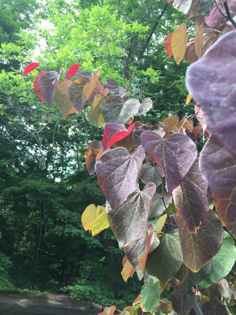 Cercis can. Forest Pansy Redbud - Eastern, Forest Pansy,