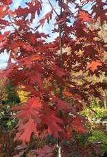 Quercus rubra Oak, Red, #3