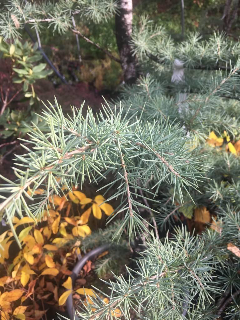 Cedrus deodara Cedar - Deodar, #15
