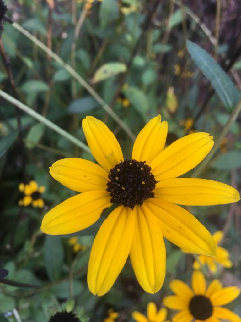 Rudbeckia fulgida Black-Eyed Susan, #1