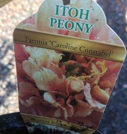 PEONY ITOH Caroline Constabel #1