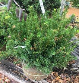 Taxus x media Densiformis,  Yew -  Spreading, 24-30