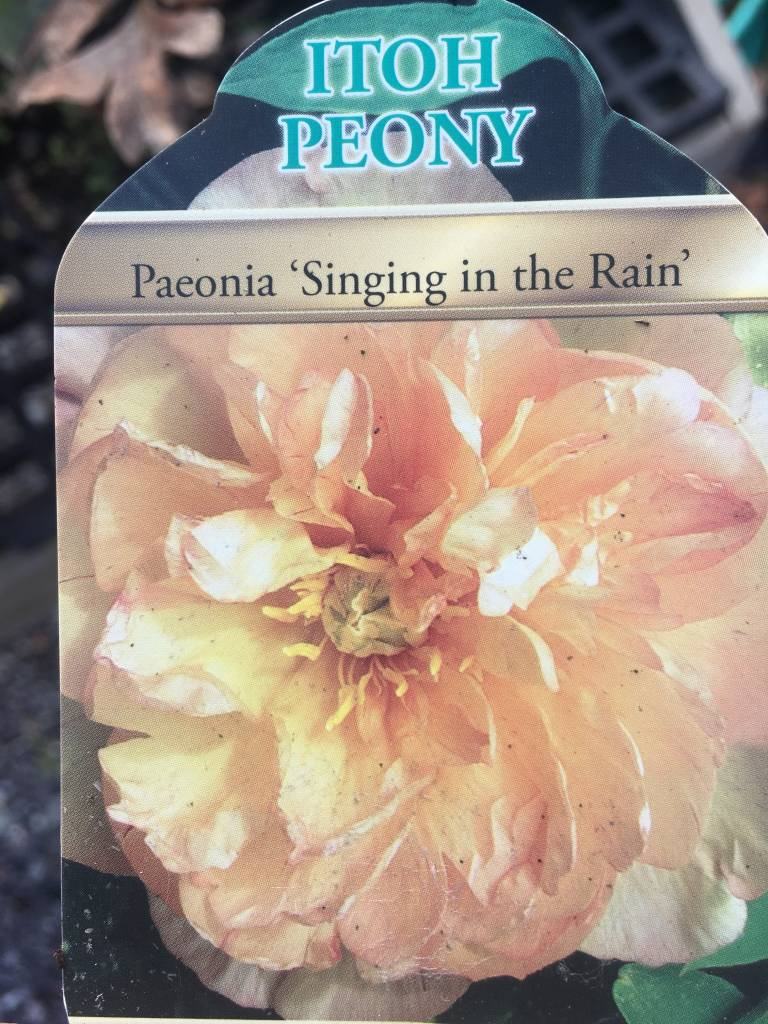 PEONY ITOH SINGING IN THE RAIN #1