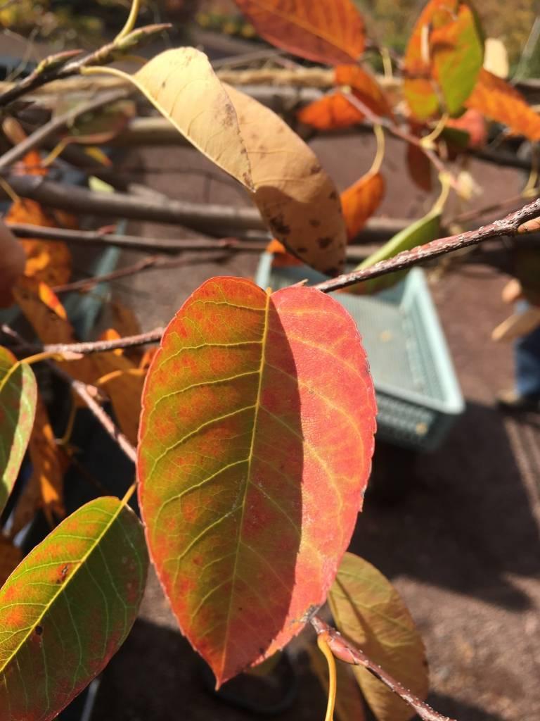 Amelanchier x gran. Autumn Bri. Serviceberry - Apple, Autumn Brilliance, 2-2.5