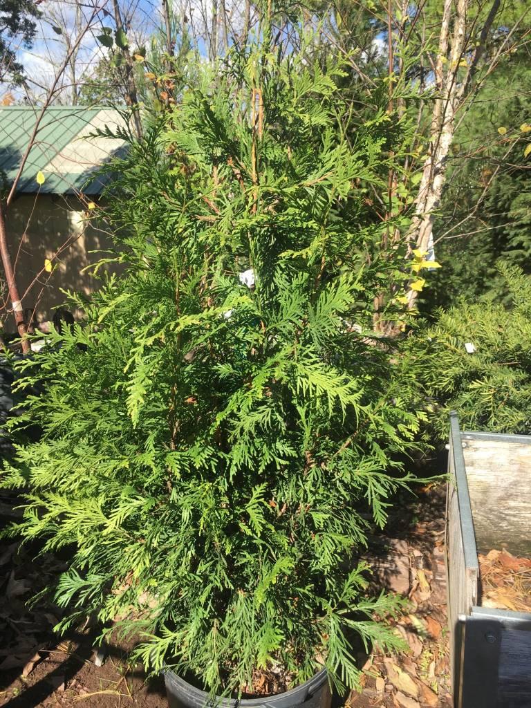 Thuja x Green Giant Arborvitae, Green Giant, #5