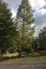 Metasequoia glyptostroboides Dawn Redwood, #15