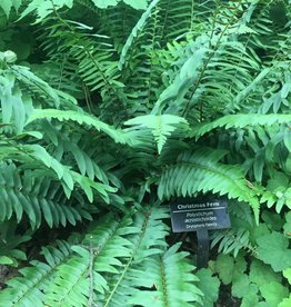 Polystichum acrostichoides Fern - Christmas, #1