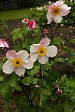 none Anemone Dainty Swan Anemone, Dainty Swan, #1